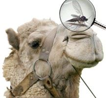 O MOSQUITO E O CAMELO